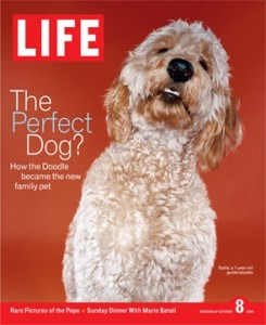 LIFE magazine Labradoodle cover