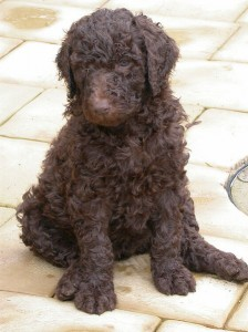 Brown Standard Poodle - 5 weeks old